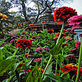 A Sea Of Zinnias 02 by Thomas Woolworth