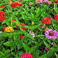 A Sea Of Zinnias 04 by Thomas Woolworth