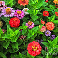 A Sea Of Zinnias 05 by Thomas Woolworth