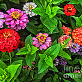 A Sea Of Zinnias 07 by Thomas Woolworth