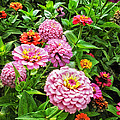 A Sea Of Zinnias 08 by Thomas Woolworth