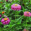 A Sea Of Zinnias 09 by Thomas Woolworth