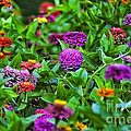 A Sea Of Zinnias 10 by Thomas Woolworth