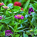 A Sea Of Zinnias 11 by Thomas Woolworth