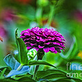 A Sea Of Zinnias 12 by Thomas Woolworth