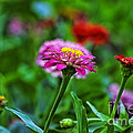 A Sea Of Zinnias 13 by Thomas Woolworth