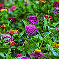 A Sea Of Zinnias 14 by Thomas Woolworth