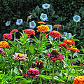 A Sea Of Zinnias 15 by Thomas Woolworth