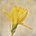 A Simple Daffodil by Priska Wettstein