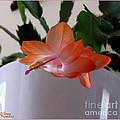 A Single Blossom by Rennae Christman