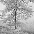 A Single Infrared Beech Tree by Ann Garrett