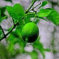 A Single Lime by Joseph Coulombe