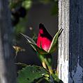 A Single Rosebud by Thomas Woolworth