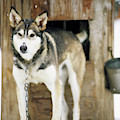 A Sled Dog Stands By Its Kennel by Jeff Diener