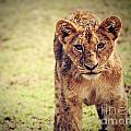 A Small Lion Cub Portrait. Tanzania by Michal Bednarek