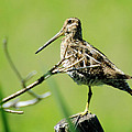 A Snipe  by Jeff Swan