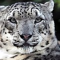 A Snow Leopards Gaze by Christopher Miles Carter