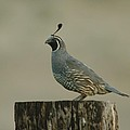 A Sole Rooster Quail by Jeff Swan