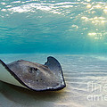 A Southern Stingray by Alex Mustard