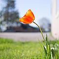 A Spring Tulip by Aaron Aldrich