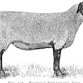 A Suffolk Shearling Ewe          Date by Mary Evans Picture Library