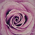 A Sugared Rose by Joan-Violet Stretch
