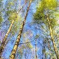 A Summer Forest by David Pyatt