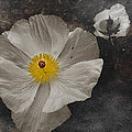 A Touch Of Color - Poppy by Shannon Story