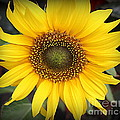 A Touch Of Sunshine - Sunflower by Dora Sofia Caputo Photographic Design and Fine Art