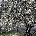 A Tree In Arlington by Cora Wandel