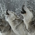A Trio Of Gray Wolves, Canis Lupus by Jim And Jamie Dutcher