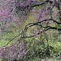 A View Of A Blooming Redbud Tree by Darlyne A. Murawski
