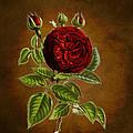 A Vintage Rose Wonder by Sheila Savage