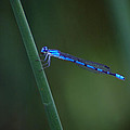 A Vivid Dancer Dragonfly by Ben Upham III