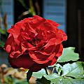 A Vivid Red Rose by Melissa Rensen