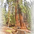 A Walk Among The Giant Sequoias by Angela Stanton