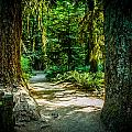 Pathway Cathedral Grove by Roxy Hurtubise