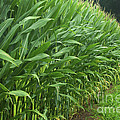 A Wall Of Corn by Paul W Faust -  Impressions of Light