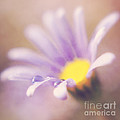 A Waterdrop On The Petal Of A Daisy by LHJB Photography