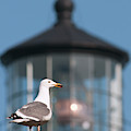 A Western Gull  Larus Occidentalis by Robert L. Potts