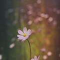 A Whisper Of Pink  by Saija  Lehtonen