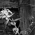 A White Flower With An Old Fence by John B Poisson