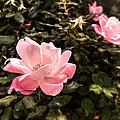 A Wild Rose by William Fields
