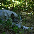 A Wolf Naps by Jeff Swan