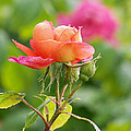 A Young Benjamin Britten Rose by Rona Black