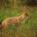 A Young Coyote by Raymond Gehman