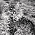 A Young Maine Coon by Rona Black
