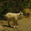 A Young Mountain Goat by Jeff Swan