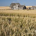 Abandoned Farmhouse In Wheat Field by John Shaw