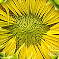 About To Be A Sunflower by Kenny Glotfelty